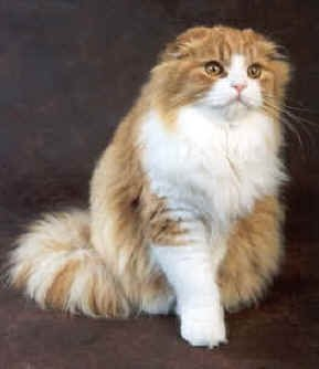 Le Scottish Fold. dans chat 2004,04,292904pict_b27e,259x300 · «